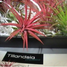 TILLANDISIA